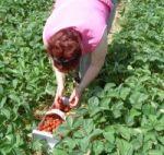 Erdbeeren gab es damals wie auch heute zur Erntezeit im Überfluss